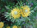 Isopogon 'Little Drumstick'.jpg