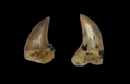 Isurus planus teeth.png