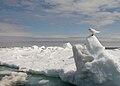 Ivory Gull Wintering.jpg
