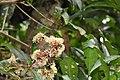 Ixora brachiata മരച്ചെക്കി.jpg