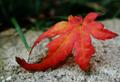 Japanese Maple Leaf.png