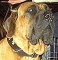 Japanese Mastiff head.jpg
