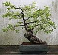 Japanese Persimmon (Diospyros kaki) (3504613241).jpg