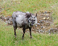 Japanese serow - Berlin zoo.jpg