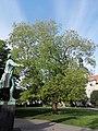 Japanischer Schnurbaum, Schillerplatz.jpg