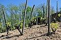 Jeunes vignes des comtés-rhodaniens en Ardèche.jpg