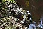 Jicotea elegante (Trachemys scripta elegans), Jardín Botánico de Múnich, Alemania, 2013-01-27, DD 04.JPG