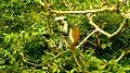 Jozani-Zanzibar-monkey.jpg