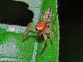 Jumping Spider (Salticidae) (6788186517).jpg