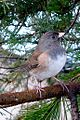 Junco perching (7990987144).jpg