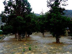Juniper tree at Quaid-e-Azam residency.jpg