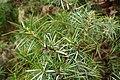 Juniperus oxycedrus kz10 (Morocco).jpg