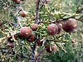 Juniperus phoenicea - Lladurs - IB-712.jpg