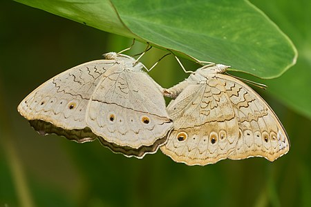 Junonia atlites (Grey Pansy) mating pair