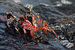 Juvenile-Galápagos-Sally-Lightfoot-crabs.jpg