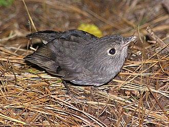 North Island robin - Juvenile begging for food