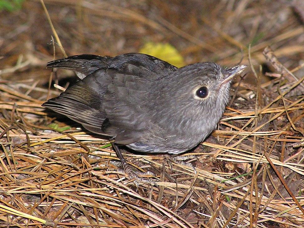 Juvenile NZ Robin