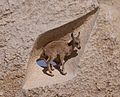 Juvenile Nubian ibex in a sculpture in Mitzpe Ramon (40386).jpg