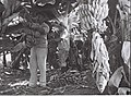 KIBBUTZ MEMBERS WORKING IN THE BANANA PLANTATION AT DEGANIA B. חברים בקיבוץ דגניה ב' עובדים במטע הבננות.D835-009.jpg