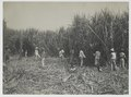 KITLV - 18288 - Kurkdjian - Soerabaja - Cutting Garden on the sugar company Ketanen at Mojokerto - 1916-04.tif