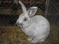 Silberkaninchen Wikipedia