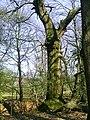 Kastanovy les ve vnitrozemi Cresu.jpg