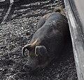Kelsey Creek Farm pig 01.jpg