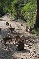 Keoladeo National Park-Singes (3).jpg