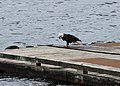 Ketchikan, Alaska - Bald Eagle - panoramio (4).jpg