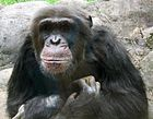Knoxville zoo chimp closeup.jpg