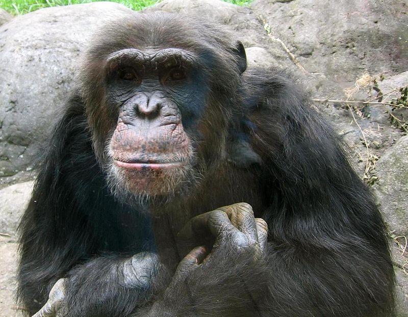 Szympans – genetycznie najbliższy człowiekowi