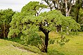 Koki Okinawa Japan Unidentified-tree-01.jpg