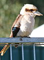 Kookaburra on perch.jpg