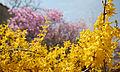 Korea Palace Spring Flowers 05.jpg