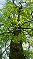 Korina 2010-04-26 Aesculus hippocastanum 2.jpg