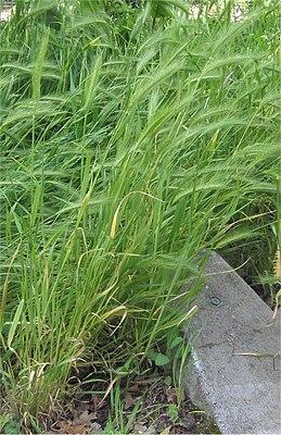 Kruipertje Hordeum murinum plant.jpg