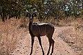 Kudu, Ruaha National Park (1) (29024486025).jpg