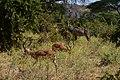 Kudu, Ruaha National Park (12) (28737209800).jpg