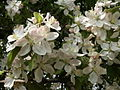 Kwiaty jabłoni.jpg