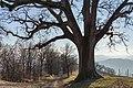 La Grande Quercia - Scandiano (RE) Italia - 1 Febbraio 2015 - panoramio (1).jpg