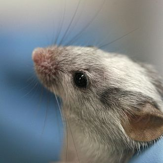 Laboratory mouse - A laboratory mouse with intermediate coat colour
