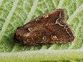 Lacanobia oleracea - Bright-line brown-eye - Совка огородная (26202648047).jpg