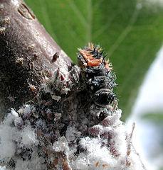 Larva lienky požierajúca vlnačky