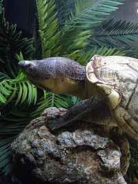 Lake Chapala Mud Turtle.jpg