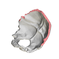 Lambdoid border of occipital bone07.png