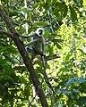 Langur Monkey (3872586895).jpg