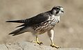 Lanner falcon, Falco biarmicus, at Kgalagadi Transfrontier Park, Northern Cape, South Africa (34447024561).jpg