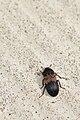 Larder Beetle (Dermestes lardarius) - Guelph, Ontario 01.jpg