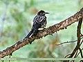 Large-spotted Nutcracker (Nucifraga multipunctata) (49609760017).jpg