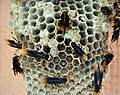 Large wasp nest (28133384797).jpg